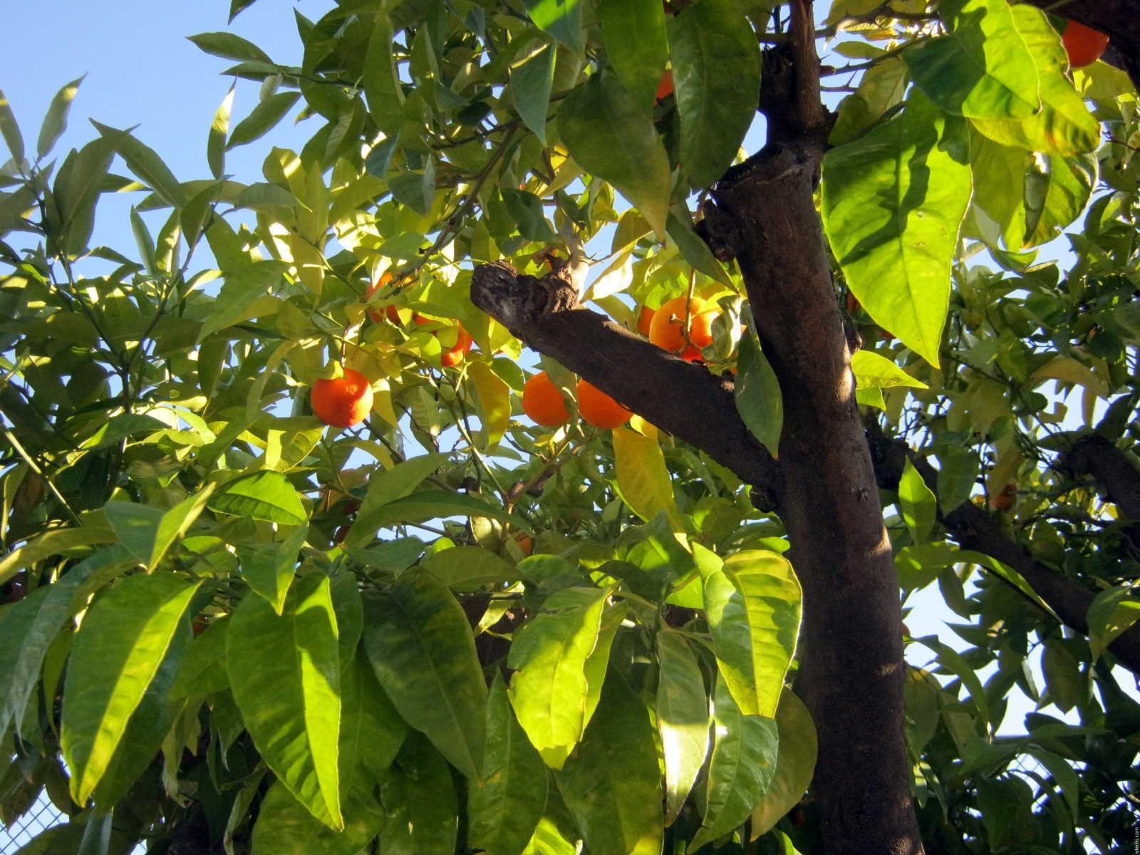 Эфирное масло мандарина картинки
